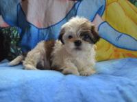 Gorgeous and tiny shih-tzu puppies, pups are adorables