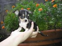 Stunning Apple Head Chihuahuas. Very short nose ,short