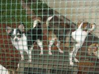 """Little Bit""(black and white puppy) and ""Bella""(sable"