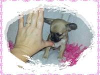 I have an adorable female chihuahua puppy ready for her