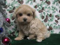 I am offering for sale a gorgeous litter of 6 maltipoo