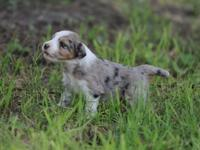 Aussiedoodle puppies available. The sire is an AKC/UKC