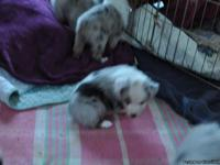 Gorgeous Australian Shepherd Puppies born 11/13. Tri