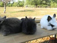 I have two beautiful baby Lionhead bunnies for sale.