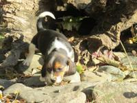 Gorgeous family raised Beagle puppies ready to go to