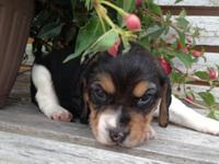 Taking deposits on pure-blooded Beagle young puppies.