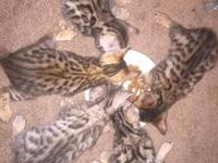 Hi there! I have 5 beautiful Bengal kittens for sale.