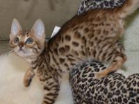 Beautiful social, purebred Bengal kittens. Bengals are