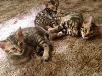 I have 3 gorgeous Bengal kittens that require an