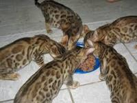 Animal Type: Cats Breed: Bengal Cute Bengal kittens