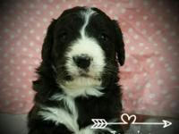 Crystal Ridge Bernedoodles have arrived! They will come