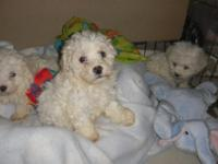 Beautiful Little Fur Ball's, 2 Males & 1 Female, White
