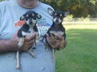2 Beautiful black and tan chihuahuas. CKC Registered.