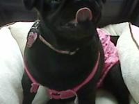 Lei Lee is my perfect little Black Pug. She is a spunky