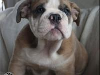 Drop dead gorgeous female English bulldog puppy for