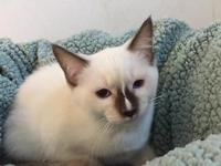 Gorgeous Ragamese Kittens (Ragdoll/Siamese Cross). I