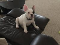 Beautiful Blue Fawn Pied- French Bulldog pup for sale.
