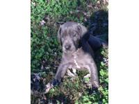 We have new litter of cute blue dane puppies. They will