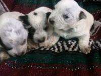 Beautiful Blue Heeler puppies. Both parents on website.