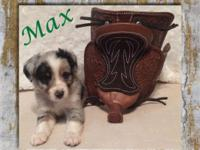 Gorgeous Toy Blue Merle Male Australian Shepherd Puppy