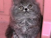 Gorgeous Blue female Persian. She is litter box