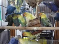 Own some healthy male and female blue sable and yellow