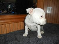 Beautiful white & blue UKC PURPLE RIBBON American
