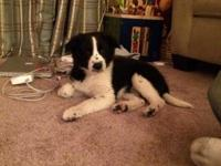 We have 1 male border collie left in the this litter.
