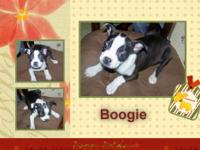 This is Boogie, he is a gorgeous nicely marked CKC reg.