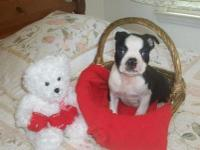 Cute and Strong Born Boston Terrier Puppies For Sale