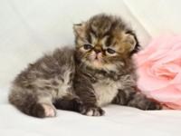 I have a gorgeous brown tabby persian baby girl named