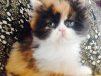 Ggorgeous purebred calico Persian kitten. She is a Doll