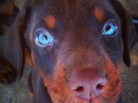 Hello! I have unbelievable Doberman Pinscher young
