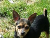 For sale is a female Chihuahua puppy. She is about 10