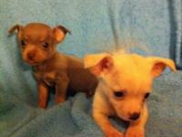 These Beautiful Chihuahua new puppies were born