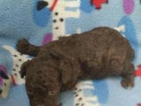 Gorgeous little chocolate teacup poodle male puppy.