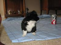 CKC Long Coat Black & White Chihuahua Boy 19 weeks old