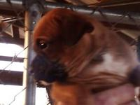 Ckc registered boxer pups. Tails docked and had first