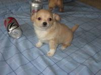 Beautiful Cream & White Chihuahua Long Coat Boy 11