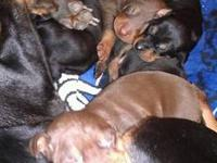 Absolutely adorable, Doberman Pinscher puppies. 10 to