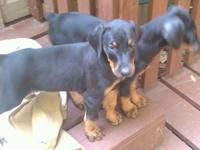 Gorgeous CKC registered doberman pinscher pups born
