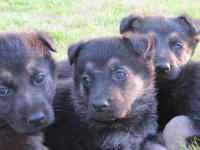 CKC German Shepherd Puppies, beautiful, healthy,