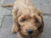 Great companion Cockapoo Puppies for sale. Good with