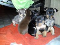 Multicolored Pin-chih (Miniature Pinscher-Chihuahua