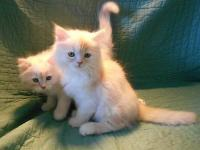 These boys are 3/4 Persian with long white coats with