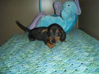 AKC silver dapple male pup. Reuben is very sweet , and