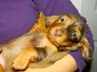 We have a litter of stunning dachshund young puppies