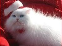 We have Gorgeous Odd Eye White Persian Boy kitten avail