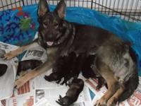 Gorgeous dark sable females born May 23 2015, will be