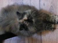 I will have more doll face Persian kittens in March.